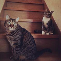 おはようございます お母さん お腹すいたから ごはん早くちょうだいニャン  #cat#cats#猫#ネコ#ねこ#ねこ部#ねこら部#myfamily#pet#pets#pretty#lovely#neco#ilovecat#catlove#にゃんこ#猫バカ#家族#仲良し#親バカ#甘えん坊#7pets_1day #instacat#かわいいにゃんこ (ヾ(ω)ノオハヨウ(o__)o)ヘコッ by @akiko.tanaka.1481 cat enclosures  cat cats kitty cute catlover catsofinstagram catcam instacat catstagram catsagram lovecats cat product reviews