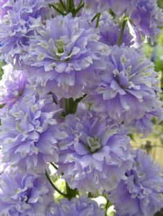 Unusual Flowers, Amazing Flowers, Fresh Flowers, Purple Flowers, Beautiful Flowers, Malva, Flowers Nature, Flower Pictures, Trees To Plant