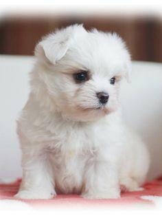 子犬の紹介:マルチーズ ホワイトの男の子