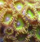 Mello Yellow Zoanthids Coral (Zoanthus sp.) 10+ Polyps