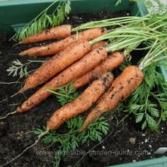 Growing Carrots in Containers - I am so glad to find this info; I haven't had any luck with my container carrots yet, maybe this will help!