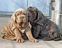 10 Dogs that can be Larger than their Owners