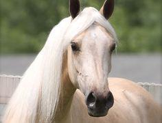 The Palomino Store - Palomino Horses for Sale