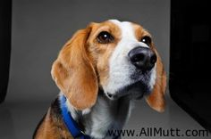 Beagle Basset Mix - Yes he has a great nose. Dalmatian Mix, Crazy Dog Lady, Beagle Mix, Basset Hound, Dog Photos, Tigger, Best Dogs, Fur Babies, Cute Dogs