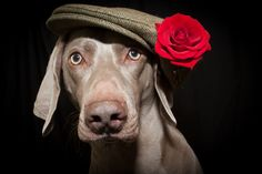 Valentine Weimaraner   www.clairhucklephotography.co.uk
