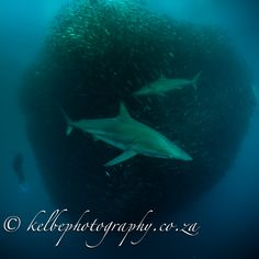 Shark diving Safaris in South Africa and Mozambique, visits to Game Parks and introduction to Zulu culture Shark Diving, Sea Creatures, Whale, Safari, Places To Visit, Africa, Park, Life, Animals