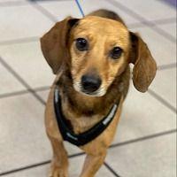 Greensboro North Carolina, Rescue Dogs, Dachshund, Pets, Pet Dogs, Weenie Dogs, Weiner Dogs, Dachshunds, Animals And Pets
