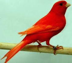 Resultado de imagen para animales de color rojo