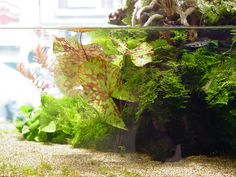 Aqua Zoom aquarium Tokyo, Japan - Big Aponogeton in center. #aquascape #biotope