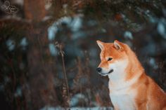 By Kseniya Ressy. Greenland Dog, All Types Of Dogs, German Spitz, American Akita, Japanese Spitz, Alaskan Malamute, Samoyed, Dogs Of The World, Shiba Inu