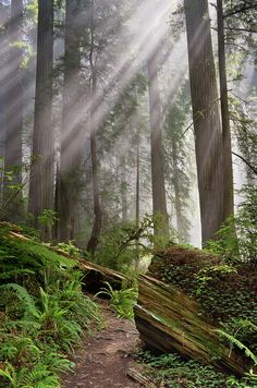 Redwood Light By Greg Nyquist Believe this is the Damnation Trail that I've walked. Forest Light, Magic Forest, Beautiful World, Beautiful Places, Beautiful Forest, Redwood Forest, Forest Path, Woodland Forest, Nature Photography