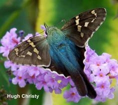 Long-tailed Skipper (Urbanus proteus) - Kanawha County, West Virginia, US. Photo by Hugh Christy. Hummingbird Moth, Falter, Beautiful Bugs, Beautiful Butterflies, Pretty Birds, Seville, Beautiful Creatures, Hawk Moth, Butterflies Flying