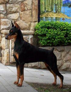 #Stunning #pup. #Doberman