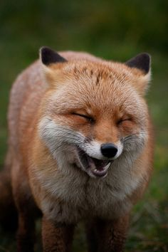 This proves that animals really DO laugh and smile as humans do.Red Fox by Louise Beech Smiling Animals, Happy Animals, Nature Animals, Animals And Pets, Funny Animals, Cute Animals, Funny Foxes, Wild Animals, Beautiful Creatures
