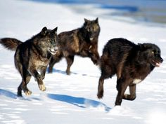 Wolves run on their toes, which helps them to stop and turn quickly and to prevent their paw pads from wearing down.