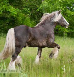 Draft horse :: Gypsy Vanner Horse stallion