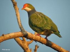 Orange-fronted Fruit Dove (Ptilinopus aurantifrons)