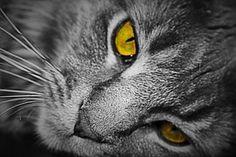 Kissa, Pää, Katzenkopf, Kissan Naama