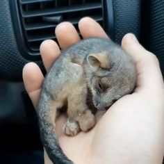 How cute? 🐾 Video by Adorable moment when a farmer revives frozen baby possum using car heater after finding the abandoned animal on bushfire-ravaged in Kangaroo Island, Australia. Cute Little Animals, Cute Funny Animals, Cute Cats, Adorable Baby Animals, Funny Pets, Funny Animal Videos, Animal Memes, Baby Animal Videos, Nature Animals