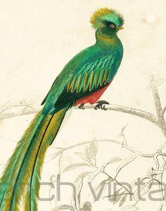 1861 Oiseau Couroucou gravure ancienne Ch. d' Orbigny Original Lithographie peinte à la main Ornithologie Trogon resplendissant
