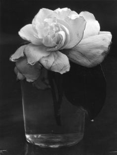 Consuelo Kanaga    Camelia in Water, 1927-28 - one beautiful flower is more than enough for a bouquet