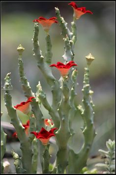 cactus in flower Unusual Plants, Rare Plants, Exotic Plants, Cool Plants, Cacti And Succulents, Planting Succulents, Planting Flowers, Amazing Flowers, Beautiful Flowers