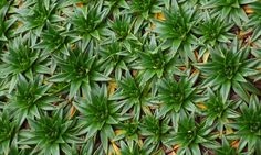 Paramo Pincushion plant at 14,000 feet elevation in the Andes Mountains.