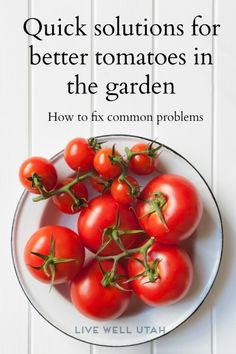 We've rounded up the resources that will give you the tips and advice you might be looking for to help your tomato crop be more successful this year. From splits, spots and more get clicking...