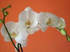 .ORCHIDEA BIANCA