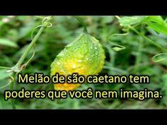 Melão de São Caetano tem poderes que você nem imagina - YouTube