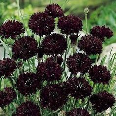 Cornflower Double Ball Black Flower Seeds (Centaurea Cyanus) 50+Seeds