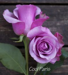 Cool Paris - a lavender rose by harvest roses - http://www.harvestwholesale.com