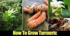 """Turmeric (Curcuma longa) is a culinary """"healer spice"""" that spans cultures – it is a major ingredient in Indian curries, and gives the American mustard its yellow color.Turmeric is considered one of …"""