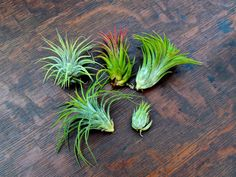 Ionantha air plant combo pack, on sale for $15.25 from Air Plant Design Studio