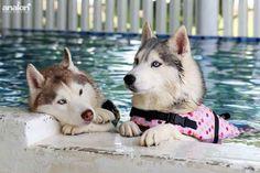 I Love♡ Love♡ Love♡ this pic :) | image: saved from Husky Mom | Siberian Huskies ♡