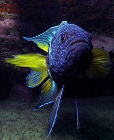 Eastern Blue Devilfish / Tasman Sea, Australia