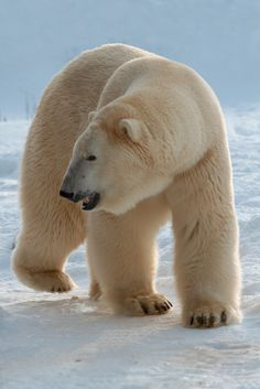 "polarbearsnorth:  ""Polar Bear Eric | © Sander van der Wel | ʕ ´ᴥ`ʔ  """