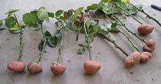 Cuttings of roses in potatoes. part Rose Cuttings in potatoes. Part 1 Cuttings of rose Veg Garden, Edible Garden, Garden Plants, Tomato Seedlings, Tomato Plants, Roses In Potatoes, Grow Potatoes In Container, Rose Cuttings, Tulips