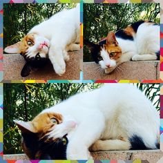 """@happysunnygu: """"I petted this cute cat when walking in the park a week ago, today this little one magically appeared in my backyard, wants to play~❤️"""""""
