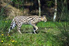 Serval – Leptailurus serval