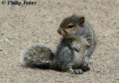 european gray squirrel - Google Search