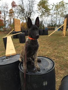 4 month old Dutch Shepherd doing agility and obedience TBK9