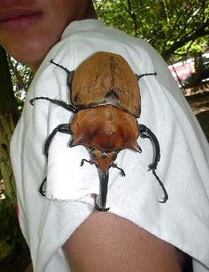 """harmless rhinoceros beetle."" Not harmless to my blood pressure!"