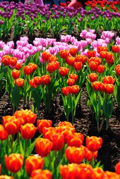 Tulip flower is one of the most beautiful flower in our world.  Image Source: https://www.flickr.com/photos/lonnie127/3255037081/ #most #beautiful #tulip #flowers