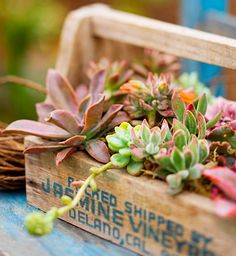 Bring smaller succulents, such as these hens and chicks, closer to eye level in a portable container. This old wooden packing box is all the more charming when filled with these tiny delights. Growing Succulents, Succulents In Containers, Cacti And Succulents, Planting Succulents, Succulent Gardening, Container Gardening, Air Plants, Indoor Plants, Hens And Chicks