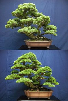 Great before and after of a White Pine bonsai, by Naoki Maeoka.
