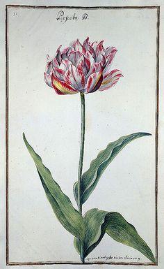 """and more at - La Badische LandesBibliotheK tiene un libro signado con el título """"Karlsruher Tulpenbuch - Cod. KS Nische C 13""""(Libro de los tulipanes de Karlsruher), editado en 1730, con 72 laminas coloreadas a mano de Chales William."""