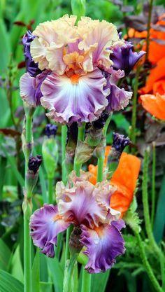 World of Irises: TALL BEARDED IRIS--FIRST-YEAR BLOOMS, 2014-- 'Photogenic'