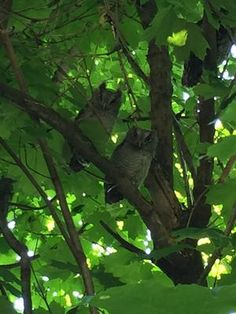 I live near Meadowvale Road and Ellesmere Road, east side of Scarborough, Ontario.  I thought I saw three Horned Owls in a tree in my yard.   I was wrong.
