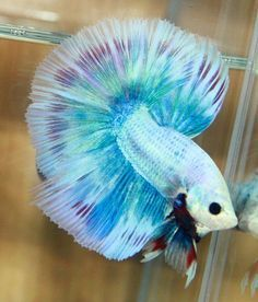 Here are the most beautiful betta fish in the world. And betta fish known as the Siamese fighting fish and 'The Jewel of the Orient', they are rather. Pretty Fish, Beautiful Fish, Animals Beautiful, Betta Fish Care, Betta Aquarium, Colorful Fish, Tropical Fish, Betta Tank, Exotic Fish